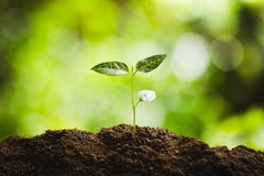 种植树树成长种子第四颗步种子是树 免版税库存图片