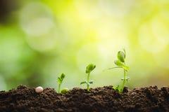 种植树树成长种子第四颗步种子是树 免版税库存照片