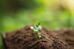 种植树树成长种子第四颗步种子是树 库存图片