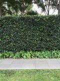 种植树篱的Privet 库存图片