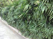种植树篱的Privet 图库摄影