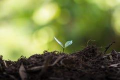 种植树自然本底厂咖啡幼木以新鲜自然的绿色 免版税图库摄影