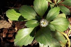种植植物群pachysandra 免版税库存照片