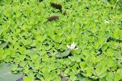 种植淡水一朵的花 库存图片
