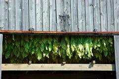 种植烟草 库存照片