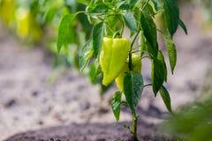 种植甜椒辣椒的果实 在veget的未成熟的胡椒 库存照片
