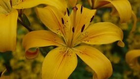 种植百合属植物bulbiferum细节特写镜头HD英尺长度-草本百合花录影 股票录像
