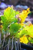 种植的橡木幼木 库存图片