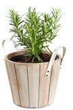 种植的罐罗斯玛丽在白色 免版税库存图片