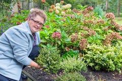 种植石南花植物的年长妇女在庭院里 库存图片
