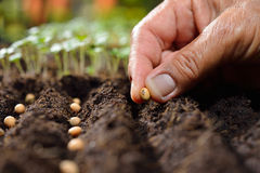 种植种子 库存图片