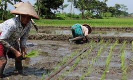 种植米幼木 免版税图库摄影
