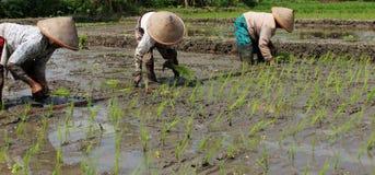种植米幼木 免版税库存图片