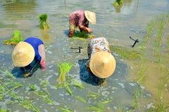 种植米的妇女 免版税库存照片
