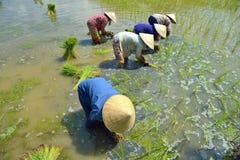 种植米的妇女 库存照片