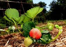 种植红色和绿色草莓和它的叶子在一个菜园里 库存图片