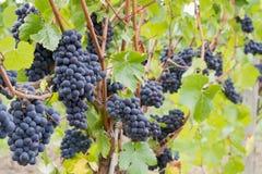 种植红色藤酒的葡萄 免版税图库摄影