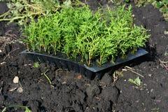 种植绿色操刀的常青金钟柏树树苗,树篱 库存图片