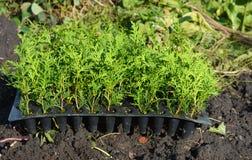 种植绿色操刀的常青金钟柏树树苗 库存图片