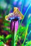 种植肉食花瓶子草exornatap 库存图片