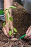种植胡椒幼木的手 库存照片