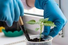 种植胡椒的幼木妇女佩带的手套特写镜头 库存照片
