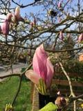 种植花桃红色黄色自然庭院太阳美丽的草木兰 库存图片