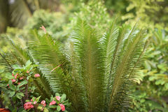 种植苏铁科的植物 库存图片