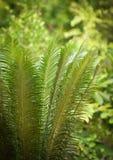 种植苏铁科的植物 免版税库存照片
