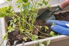 种植草本在窗槛花箱庭院里 库存图片