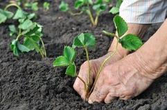 种植草莓幼木 免版税库存图片