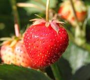 种植草莓 免版税库存照片