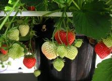 种植草莓 免版税库存图片