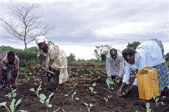 种植菜植物的乌干达妇女 免版税库存图片