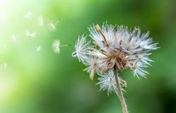 种植蒲公英开花在背景的早晨茶叶 库存图片
