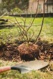 种植蓝莓灌木在庭院里 免版税库存照片