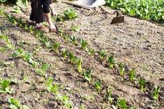 种植蔬菜 库存图片