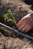 种植蕃茄幼木的农夫 图库摄影
