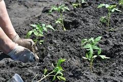 种植蕃茄幼木的农夫 库存图片