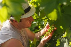 种植藤蔓者由晴朗的天气检查白葡萄在葡萄园里 库存照片