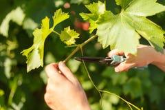 种植藤蔓者` s手切口葡萄在晴朗的天气的葡萄园里 库存图片