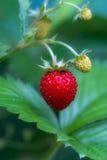 种植通配的草莓 库存照片