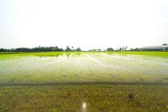 种植雨季的开始的米季节 免版税库存图片