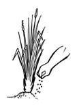 种植香根草 库存图片