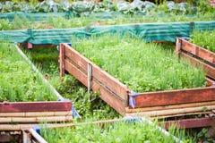 种植香菜和薤生长在罐种植园菜园里的春天葱 库存图片