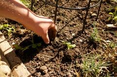 种植香豌豆花1 库存照片
