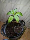 种植鳄梨树 库存照片