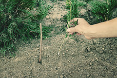 种植 黄杨属黄杨木潜叶虫黄杨属- sempervirens灌木 耕种 免版税库存图片