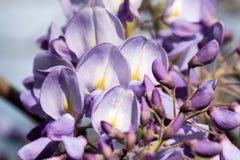种植紫色 免版税库存图片