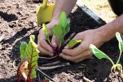种植莴苣的手 免版税库存照片
